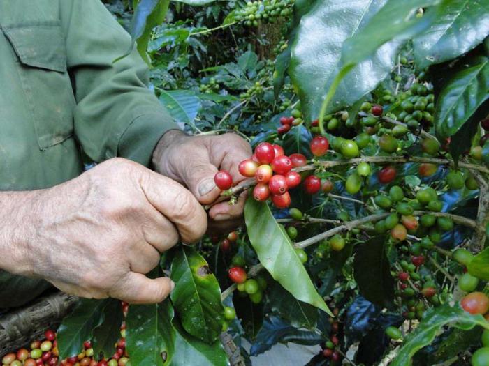 Kaffeeernte in Santiago de Cuba