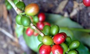 Anbau und Ernte von Kaffee
