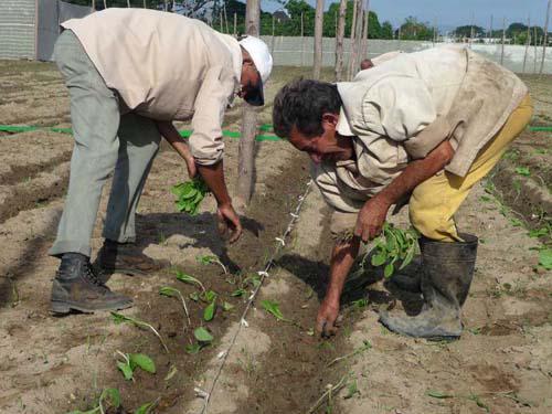 Pinar del Rio pflanzt mehr Tabak an