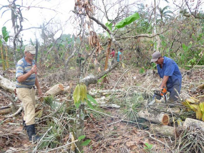 Wiederherstellung der Kakaoanpflanzungen