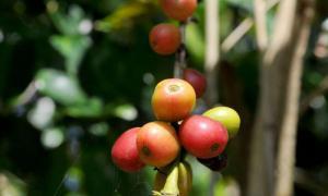 Kaffeeanbau im Escambray Gebirge